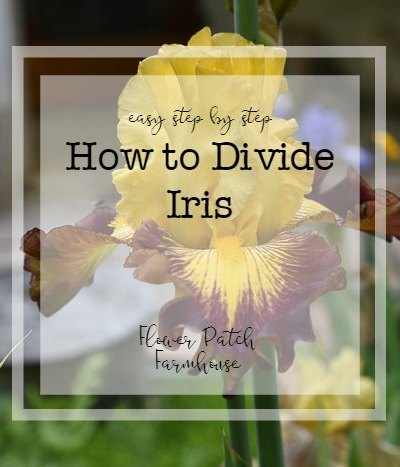 How to Divide Iris Rhizomes