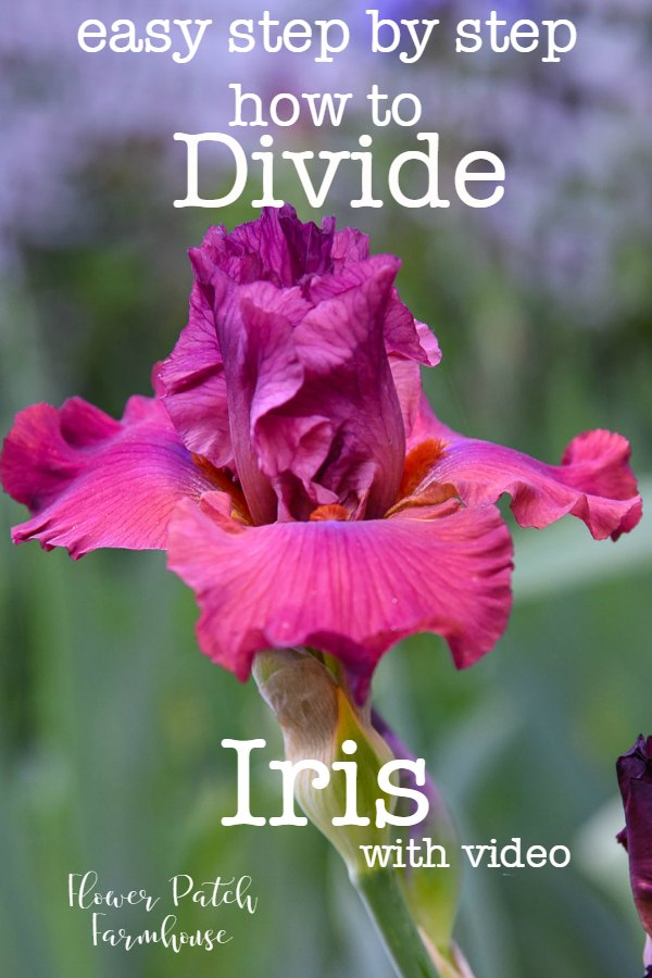 Learn how to divide Iris quickly and easily. Divide Iris to keep your plants healthier and blooming more fully. Replant or give away the extras. Video included. #propagation #easygarden #cottagegarden #beginnergardening #iris ##springgarden #smallgarden