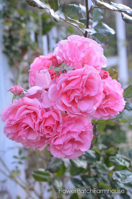 Dream Weaver rose