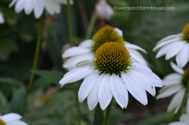 Sow your seeds in Fall. White Swan Echinacea