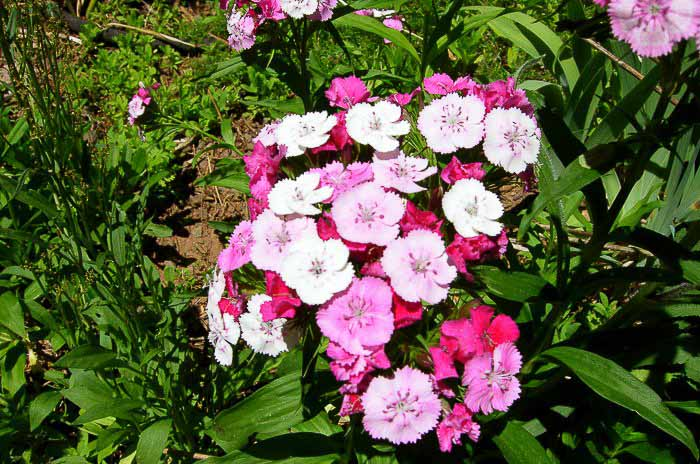 variegated sweet williams, How to Grow Sweet Williams