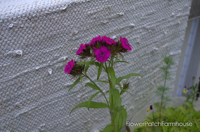 How to Grow Sweet Williams, FlowerPatchFarmhouse.com (8 of 8)