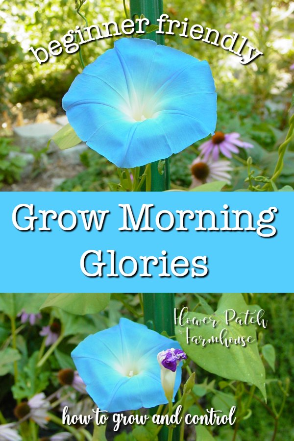 Heavenly blue morning glory with text overlay, Grow Morning Glories, Flower Patch Farmhouse