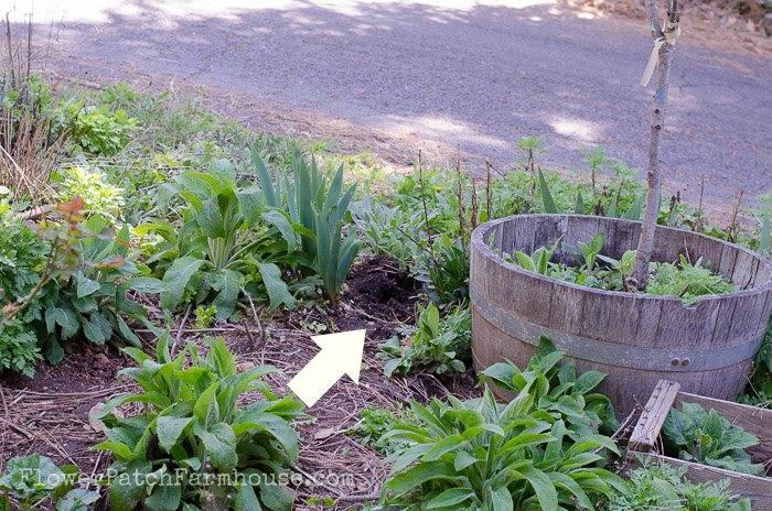 How to Divide Iris in Spring hole, FlowerPatchFarmhouse.com