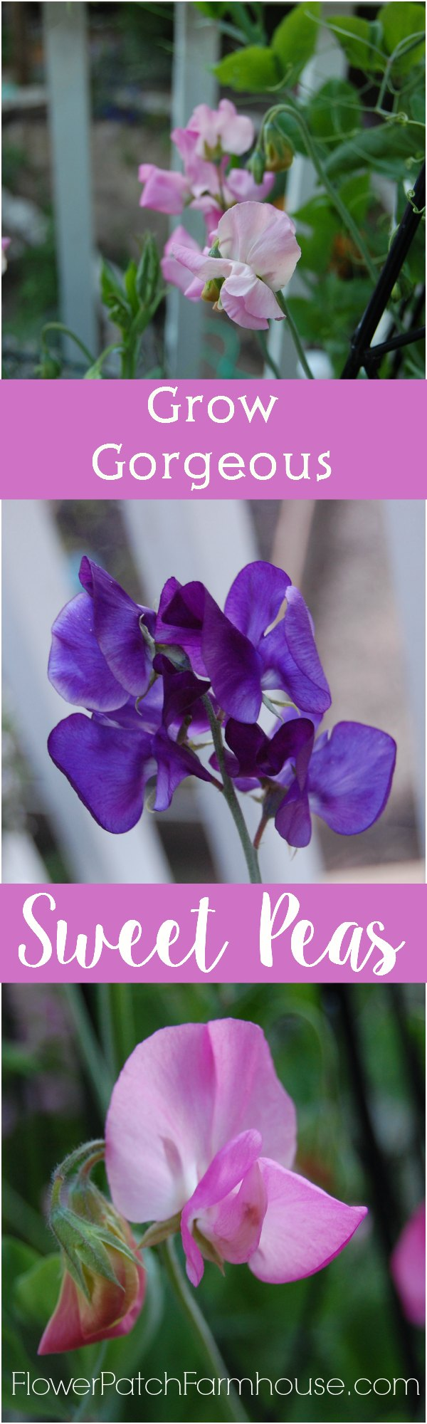 How to Grow Gorgeous Sweet Peas all Summer long.  Great for cutting.  Hand picked bouquets from  your cottage garden must include Sweet Peas!