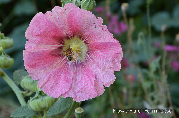 Medium pink hollyhock with bee, How to Grow Hollyhocks, Flower Patch Farmhouse