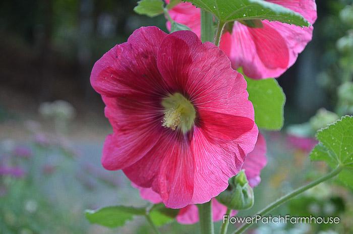 Bright pink Hollyhock, how to grow hollyhocks, Flower Patch Farmhouse dot com