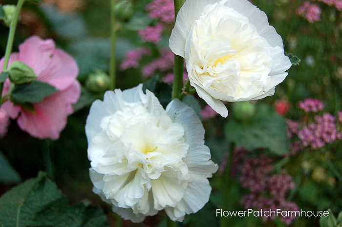 How to Grow Tall Elegant Hollyhocks in your Cottage Garden, FlowerPatchFarmhouse.com (1 of 9)
