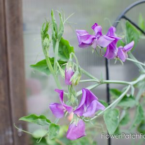 How to Grow Sweet Peas from seeds. FlowerPatchFarmhouse.com