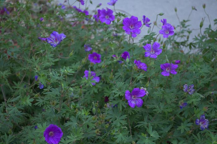 Tiny Monster Cranesbill Geranium, How to Grow Hardy Geraniums, FlowerPatchFarmhouse.com (7 of 12)