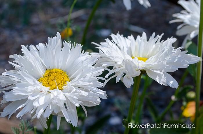 Crazy daisy ruffly