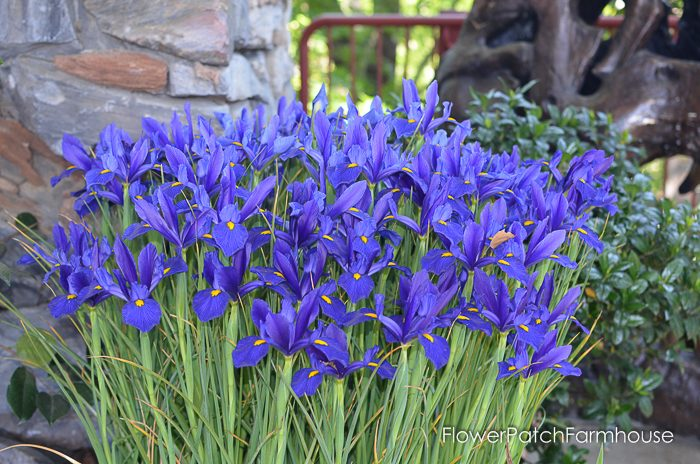 Dutch Iris, Ironstone Winery