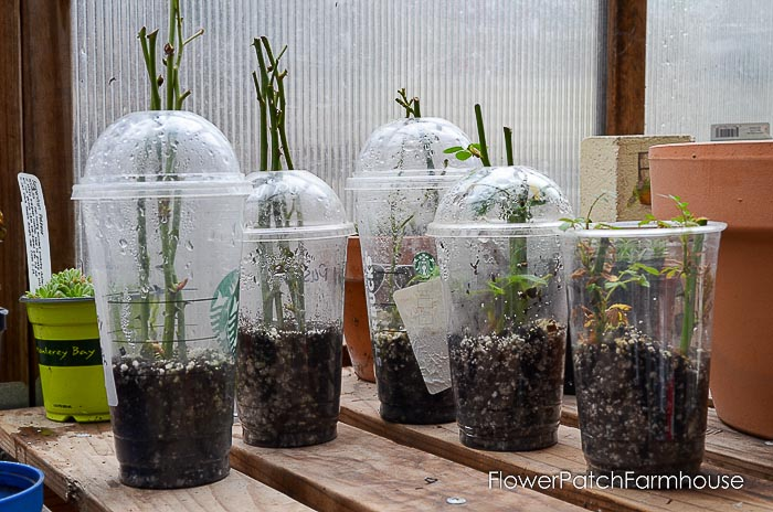 Rose cuttings in plastic cups for rooting, How to root roses from cuttings, rose propagation,
