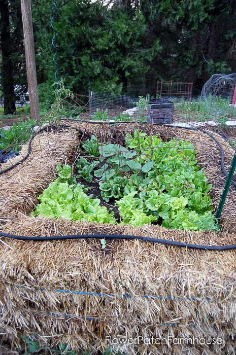 A Straw Bale Garden lets you grow garden greens through much of the winter. FlowerPatchFarmhouse.com