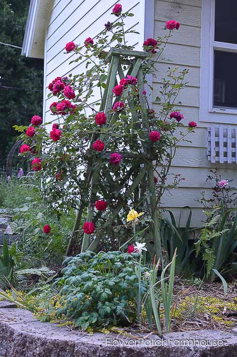 Tess David Austin Rose on DIY obelisk,