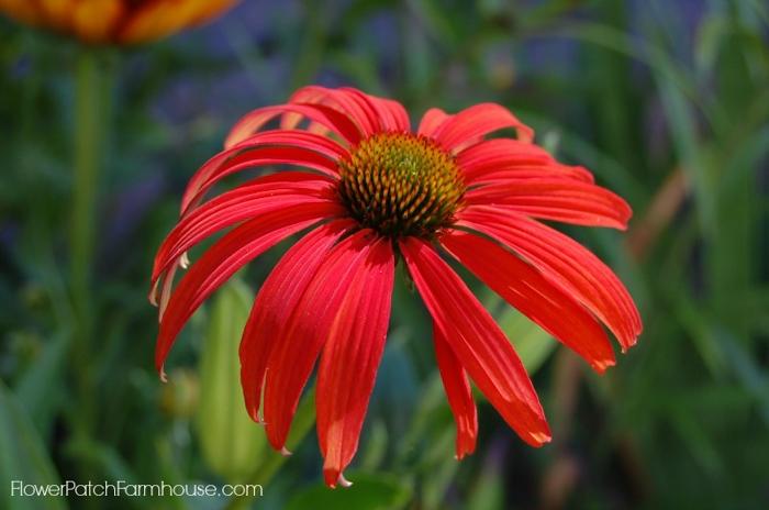 How to Grow Purple Coneflower aka Echinacea