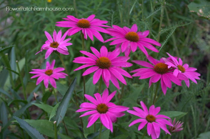 How to Grow Echinacea. Wonderful, easy to grow, drought tolerant and comes back every year, making this a perfect flower for your cottage garden. They come in a wide variety of colors, heights and pollinators love them.