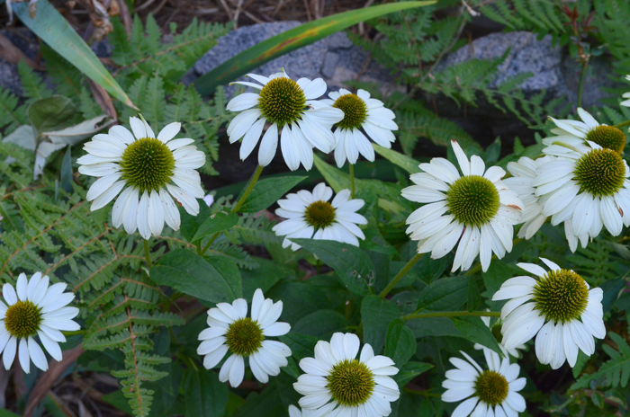 How to Grow Purple Coneflower aka Echinacea. Wonderful, easy to grow, drought tolerant and comes back every year, making this a perfect flower for your cottage garden. They come in a wide variety of colors, heights and pollinators love them.