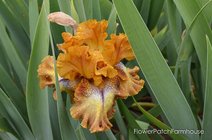 Superstition Iris Gardens, Bellagio