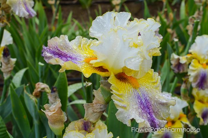 Brainstorm, Superstition Iris Gardens