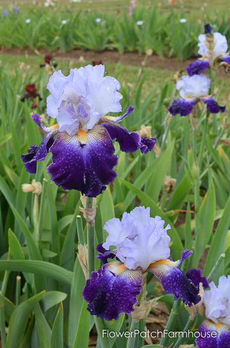 Bob's Pride, Superstition Iris Gardens