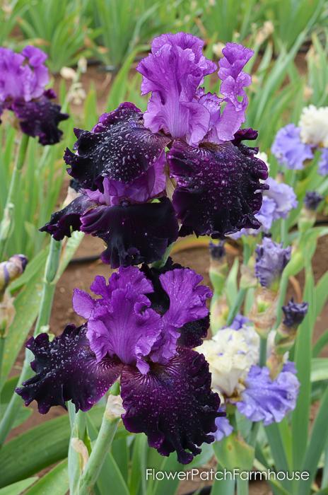 Dangerous Liaison, Superstition Iris Gardens