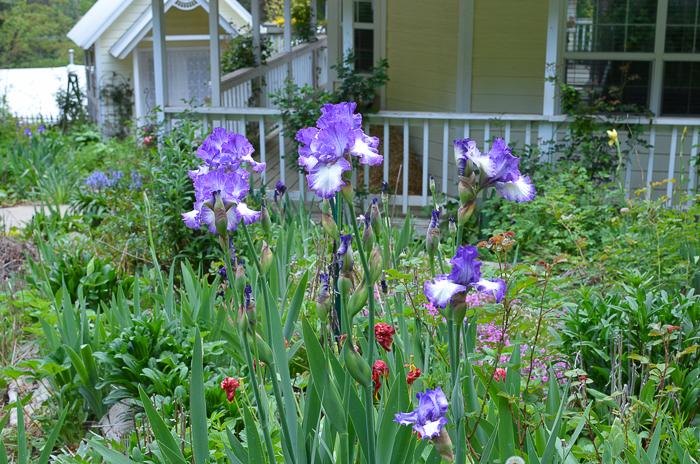 Freckled Iris