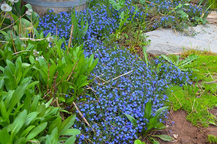 Ground cover Lithodora