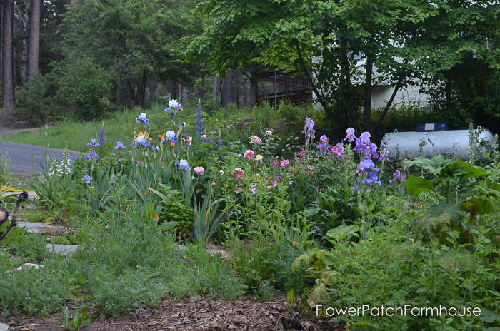iris and roses in a border