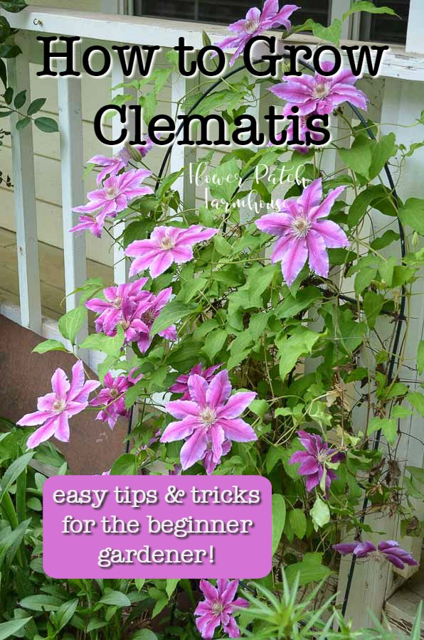Pink clematis, How to Grow Clematis, easy tips and tricks