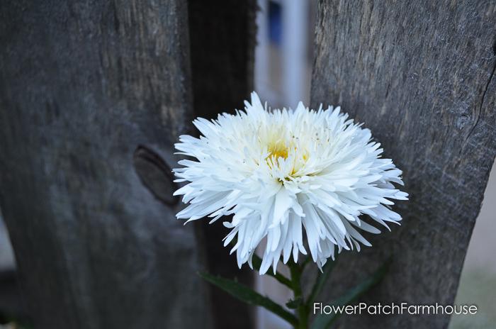 Aglaia Daisy by fence