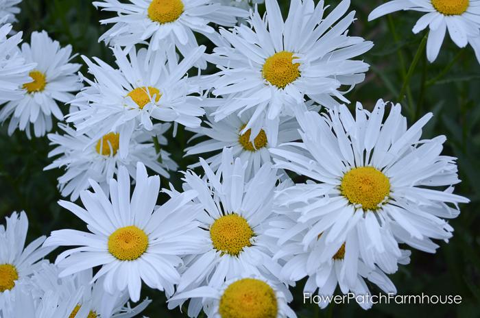 crazy daisies, compost for a beautiful garden
