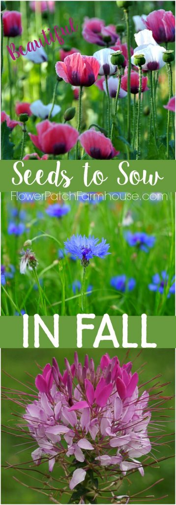 Fall is the right time to sow many flower seeds. Fall planting gets to tons of flowers for Spring and Summer and most will readily reseed for years to come. Get a fabulous garden with these flower seeds you sow in Fall.