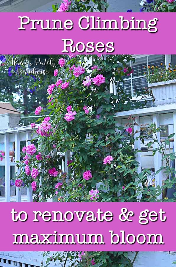 Zepherine rose climbing porch post with text overlay, Pruning climbing roses to renovate and get more blooms, Flower patch Farmhouse