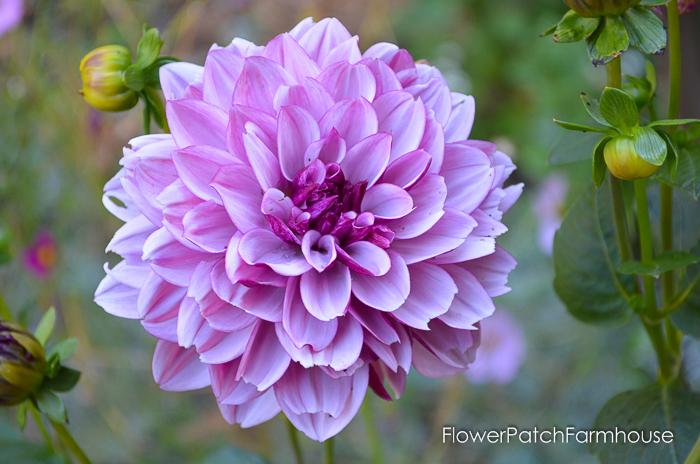 Pink dahlia, Propagate Dahlias from Cuttings, FlowerPatchFarmhouse.com