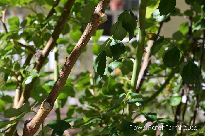pruning-my-eden-climbing-rose-11-of-21