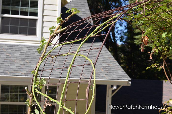pruning-my-eden-climbing-rose-20-of-21