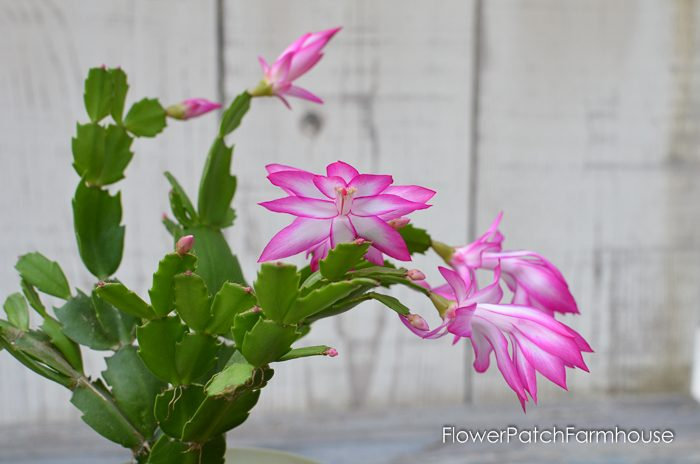 Christmas cactus or thanksgiving cactus? flower patch farmhouse