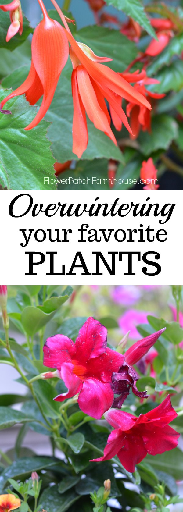 Over winter some of your favorite plants, come see how I treat them before bringing them in to keep them healthy and happy through the cold winter months and even get some blooms!
