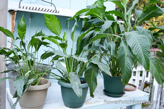 Peace Lily plants, Houseplants for your Skin, FlowerPatchFarmhouse.com