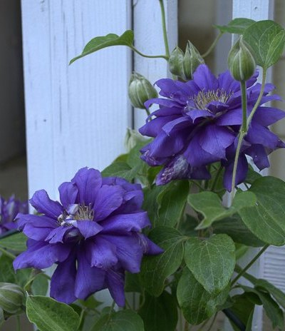 Prune Clematis for Top to Bottom Blooms