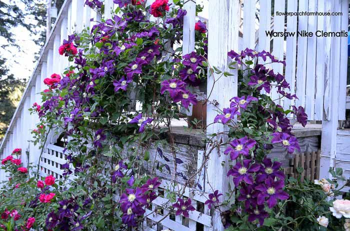 Warsaw Nike clematis climbing up a porch post and stair rail.