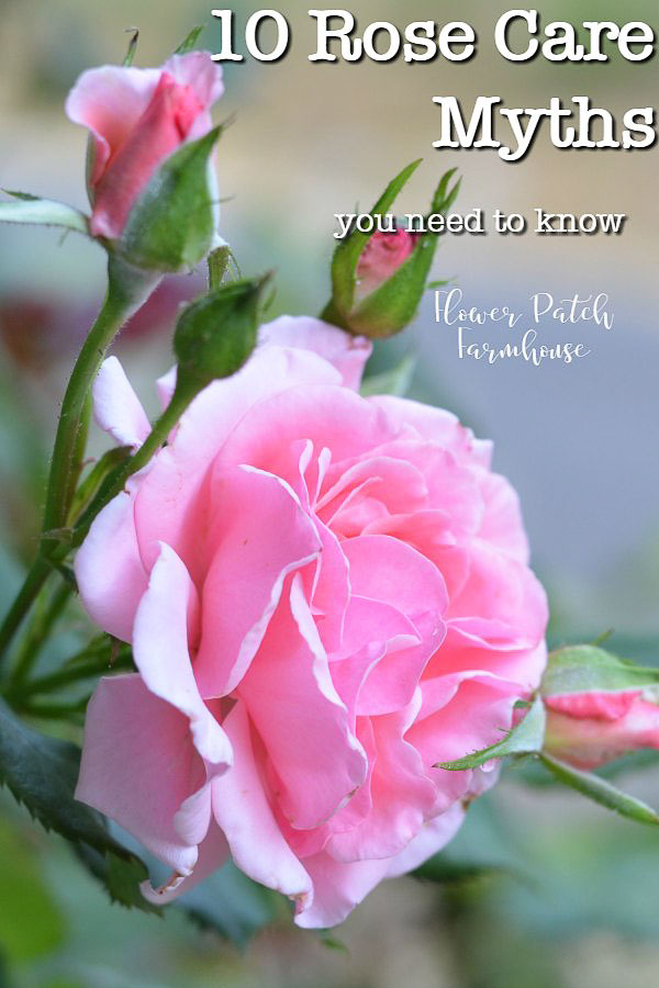 Ten Rose Care Myths Debunked.  My personal experience in growing roses for the past 30 years has been eye opening. There is so much misinformation out there concerning roses that I had to write this article! #roses #cottagegarden #flowers #gardening