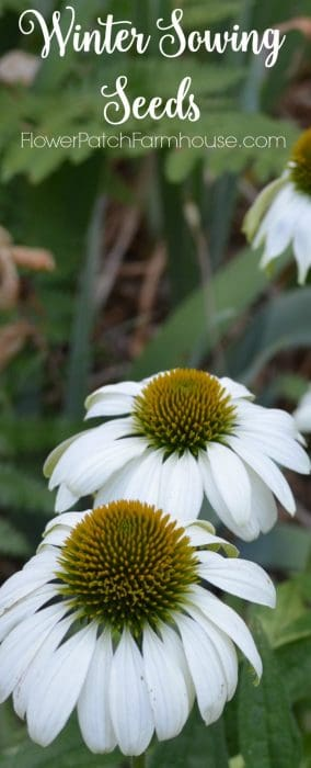 How I winter sow seeds for a fabulous Spring and tons of flowers on the cheap!
