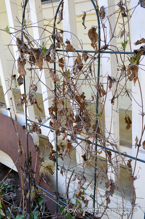 Spring pruning my Clematis. It isn't hard at all and once you see how I prune my clematis you'll be grabbing your pruners and cleaning up yours for beautiful blooms.