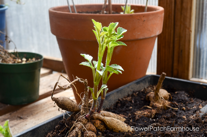 Dahlia sprouting in planting tray, Propagate Dahlias from Cuttings, Dahlia cuttings are a quick way to get more of what you love.
