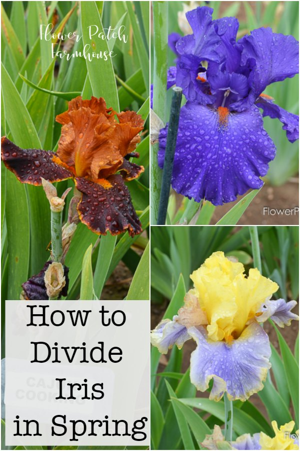 How to Divide Iris in Spring