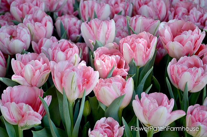 More tulips for you from Ironstone Vineyards in Murphys California. Wine country