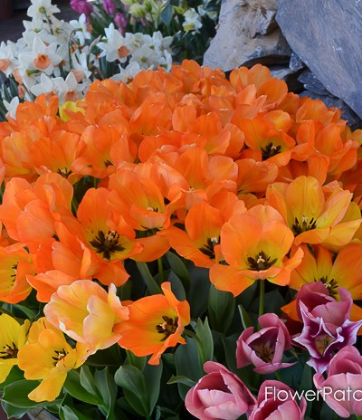 Tulips in Barrels at Ironstone