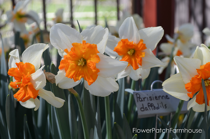 Ironstone Wineries Daffodils 2017, garden tour wine barrel container garden